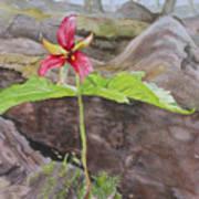 Red Trillium In The Spring  Art Print