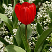 Red Tulip 09 Art Print