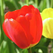 Red Tulip  Art Print by Richard Mitchell