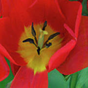 Red Tulip Trio Art Print