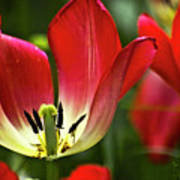 Red Tulips Petals Art Print