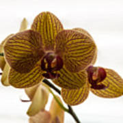 Red Veined Orchid Art Print