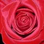 Red Velvet Rose Art Print