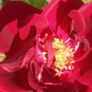 Red Velvet Roses Art Print
