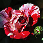 Red Verigated Rose Print by Clayton Bruster