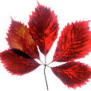 Red Vine Leaf Art Print