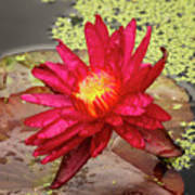 Red Water Lily Art Print