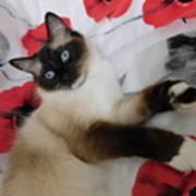 Red White And Ragdoll Kitty Cat Silktapestrykittenstm  Art Print