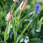 Red White Tulips Art Print