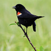 Red Winged Blackbird Art Print