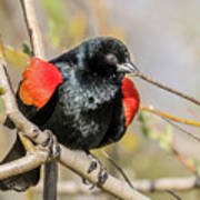 Red-winged Blackbird Foraging Art Print