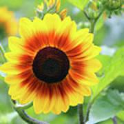 Red Yellow Sunflower Art Print