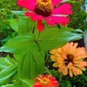 Red Yellow Zinnia Flowers Art Print