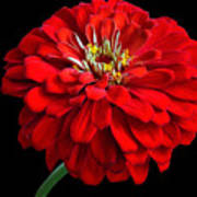 Red Zinnia Art Print