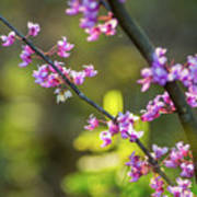 Redbud Bloom  Art Print