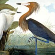 Reddish Egret, Art Print by Granger