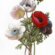 Redoute: Anemone, 1833 Art Print by Granger