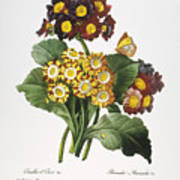 Redoute: Auricula, 1833 Art Print by Granger