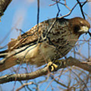 Redtail Among Branches Art Print