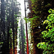 Redwood Forest 5 Art Print