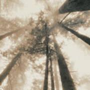 Redwood Forest, Northern California, Usa Art Print