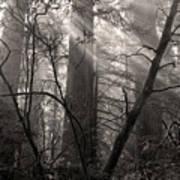 Redwood Mystery Art Print