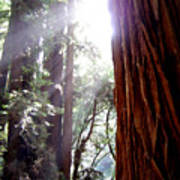 Redwood Sunlight Art Print