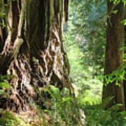 Redwood Tree Art Prints Redwoods Forest Art Print