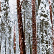 Redwoods In Snow Art Print