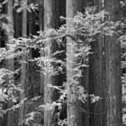 Redwoods Ir 0625 Art Print