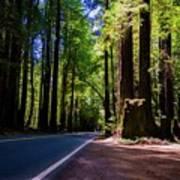 Redwoods Road Art Print