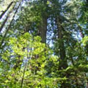 Redwoods Trees Forest Art Prints Baslee Troutman Art Print