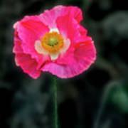 Regal Looking Poppy. Art Print
