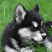 Resting Alusky Puppy Laying In Green Grass Art Print