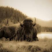 Resting Bison Art Print