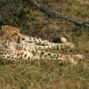 Resting Cheetah Art Print