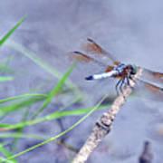 Resting Dragonfly Art Print