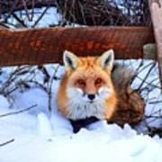 Resting Fox Art Print