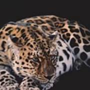 Resting Leopard  Art Print