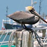 Resting Pelican Art Print