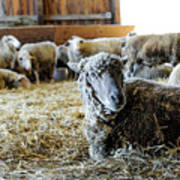 Resting Sheep Art Print