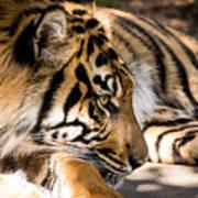 Resting Yet Watchful Tiger Art Print