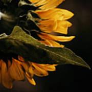 Reticent Sunflower Art Print