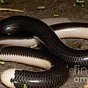 Reticulate Worm Snake Art Print