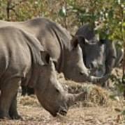 Rhinos,  Zambia Art Print