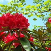Rhodies Art Prints Red Rhododendron Floral Garden Landscape Baslee Art Print
