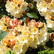 Rhododendrons Garden Art Prints Creamy Yellow Orange Rhodies Baslee Art Print