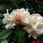 Rhododendrons IIi Art Print