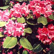 Rhododendrons Rothschild Art Print