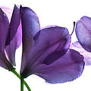 Rhody Ballet-purple Art Print